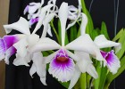 Laelia purpurata 'Bleeding Heart'